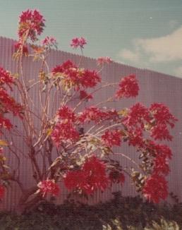 Hawaii Poinsettia Bush