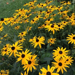 Black-eyed Susans photograph