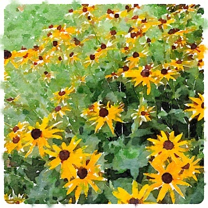 Black-eyed Susans waterlogued photo