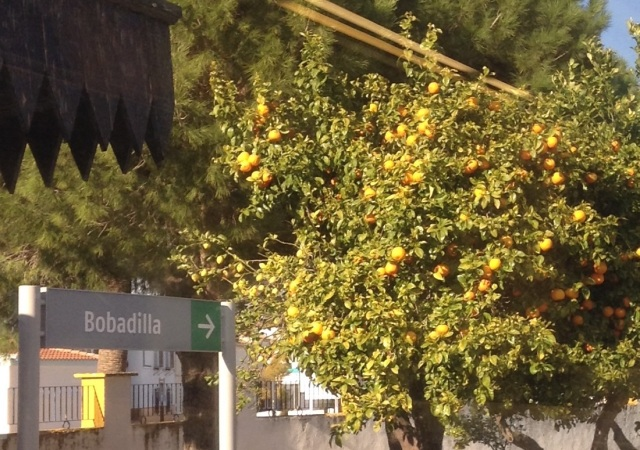 Loaded with oranges. We see them where we wlk to Torrmolinos and Malaga also, along with lemons and mandarin oranges. The blossoms smell so sweet.